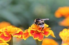 Шмель на цветке Стоковая Фотография