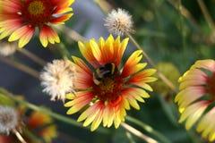 Шмель на желтом цветке Стоковое Фото