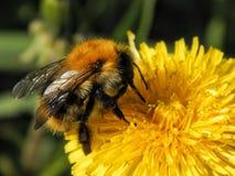 Шмель на желтых цветках одуванчика Стоковые Фото