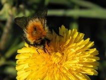 Шмель на желтых цветках одуванчика Стоковые Изображения