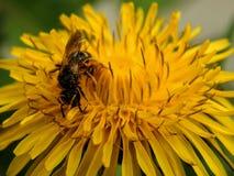 Шмель на желтых цветках одуванчика Стоковое фото RF