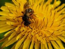 Шмель на желтых цветках одуванчика Стоковые Изображения RF