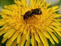 Шмель на желтых цветках одуванчика Стоковое Изображение RF
