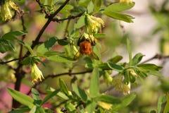 Шмель на каприфолии цветка Стоковое Изображение
