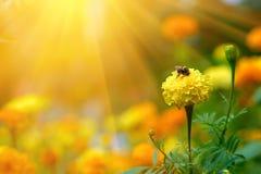 Шмель на ноготк цветка Стоковые Изображения