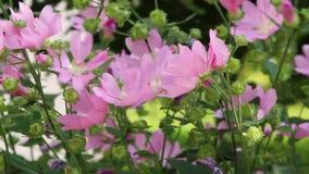 Шмель на розовых цветках сток-видео