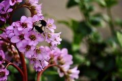 Шмель на розовых цветках Стоковые Изображения
