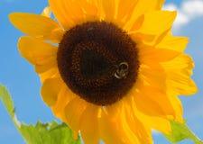Шмель на солнцецвете против спокойного голубого неба Стоковая Фотография RF