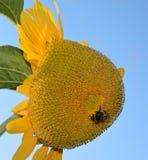 Шмель на солнцецвете Стоковая Фотография