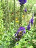 Шмель на фиолетовом цветке Стоковые Изображения