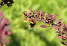 Шмель на хворостине зарева розы Стоковые Изображения