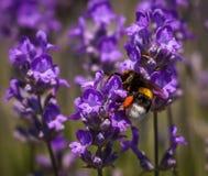 Шмель на цветке лаванды Стоковые Изображения RF