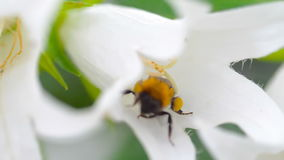 Шмель на цветке колокольчика видеоматериал