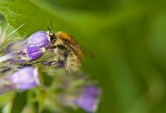 Шмель на цветке Макрос Стоковая Фотография RF