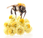 Шмель на цветке Стоковая Фотография RF