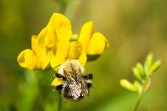 Шмель на цветке Стоковые Фото