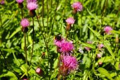 Шмель на чертополохе Thistle цветка на конце-вверх луга Стоковая Фотография RF
