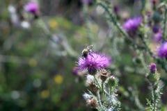 Шмель на шиповатом цветке Стоковое Фото