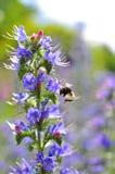 Шмель опыляя цветки Bugloss фиолетовой гадюки Целебная трава Vulgare Echium стоковые фото