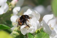 Шмель опыляя цветя яблоню Стоковое Фото