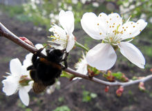 Шмель собирает нектар от цветка Стоковое Фото