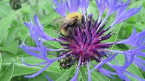 Шмель собирает нектар от цветка сток-видео