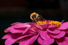 Шмель собирает нектар от цветка zinnia Стоковые Изображения