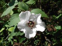 Шмель собирая цветень от цветка Стоковое Фото