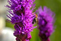 Шмель Цветок лета Стоковое Фото