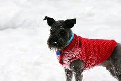 Шнауцер в снеге Стоковые Изображения RF