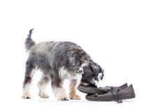 Шнауцер жуя на паре ботинок стоковые изображения rf