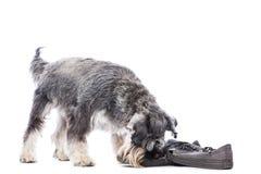 Шнауцер жуя на паре ботинок стоковая фотография rf