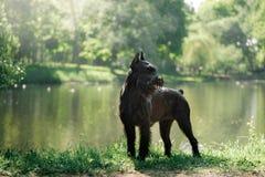 Шнауцер собаки гигантский Стоковые Фото