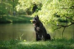Шнауцер собаки гигантский Стоковая Фотография