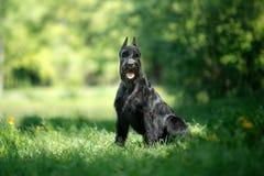 Шнауцер собаки гигантский Стоковое фото RF