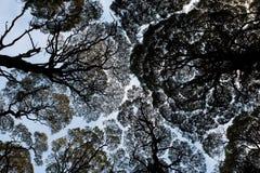Шнурок евкалипта Стоковая Фотография
