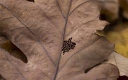 Шнурок лист Стоковая Фотография