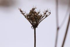 Шнурок ` s ферзя Энн в зиме стоковые изображения rf