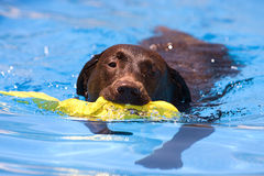 шоколад labrador восстановляя воду игрушки стоковое изображение