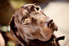 шоколад labrador Стоковое Фото