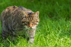 шотландская дикая кошка стоковые изображения