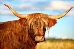 Шотландская корова гористой местности Стоковое Изображение RF
