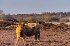 Шотландская корова higland Стоковая Фотография RF