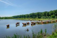 Шотландские горцы в ландшафте польдера стоковое фото