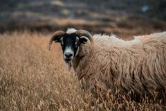 Шотландские овцы под водой стоковые изображения rf