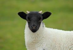 Шотландские овцы blackface Стоковая Фотография
