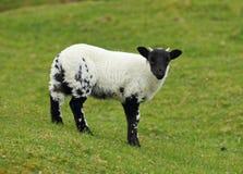 Шотландские овцы blackface Стоковое фото RF