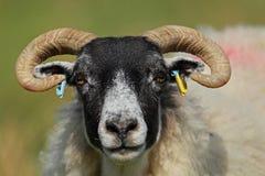 Шотландские овцы blackface Стоковые Изображения