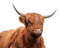 Шотландские скотины гористой местности на белой предпосылке Стоковая Фотография