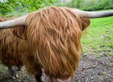 Шотландские скотины гористой местности стоковое фото